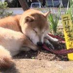 mqdefault 587 150x150 - 柴犬とおっさん3人の物語!映画版「柴公園」メイキング
