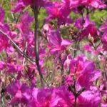 mqdefault 156 150x150 - 紫三葉(むらさきさんよう) 大分農業公園 大分県品種登録